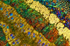 Plant tissue. Polarized light micrograph of oak (Quercus) transversal cross-section of the leaf stalk. Magnification is 100X at 10 cm wide.