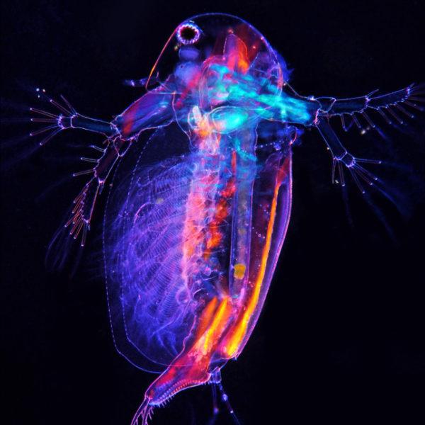 sida-crystaallina-wioslarka-mikrofotografia