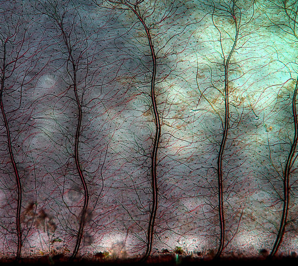 skrzelotchawka-larwy-wazki-mikrofotografia