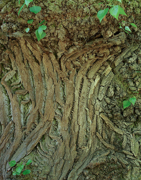 stare-drzewo