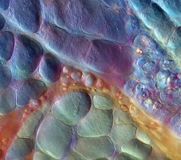 szynka-zlota-mikrofotografia