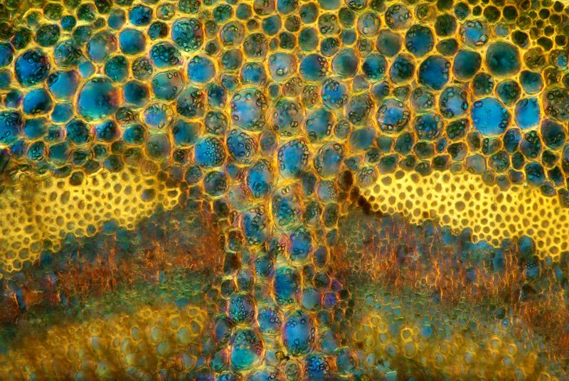 tkanka-roslinna-mikrofotografia-1